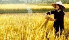 Chuyện lạ biến lúa thường thành lúa thơm